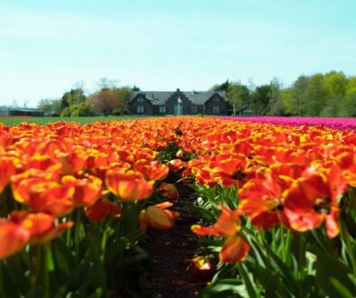 SME Solutions Tulips